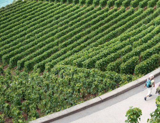 two people walking through a vinyard