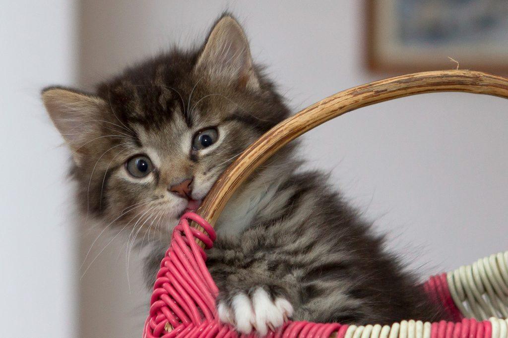 a tabby kitten sat in a basket