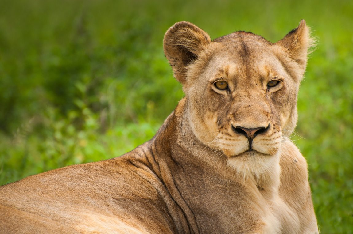 a lioness in the wild